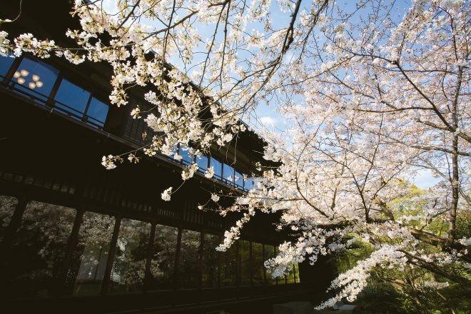 春 櫻 庭園