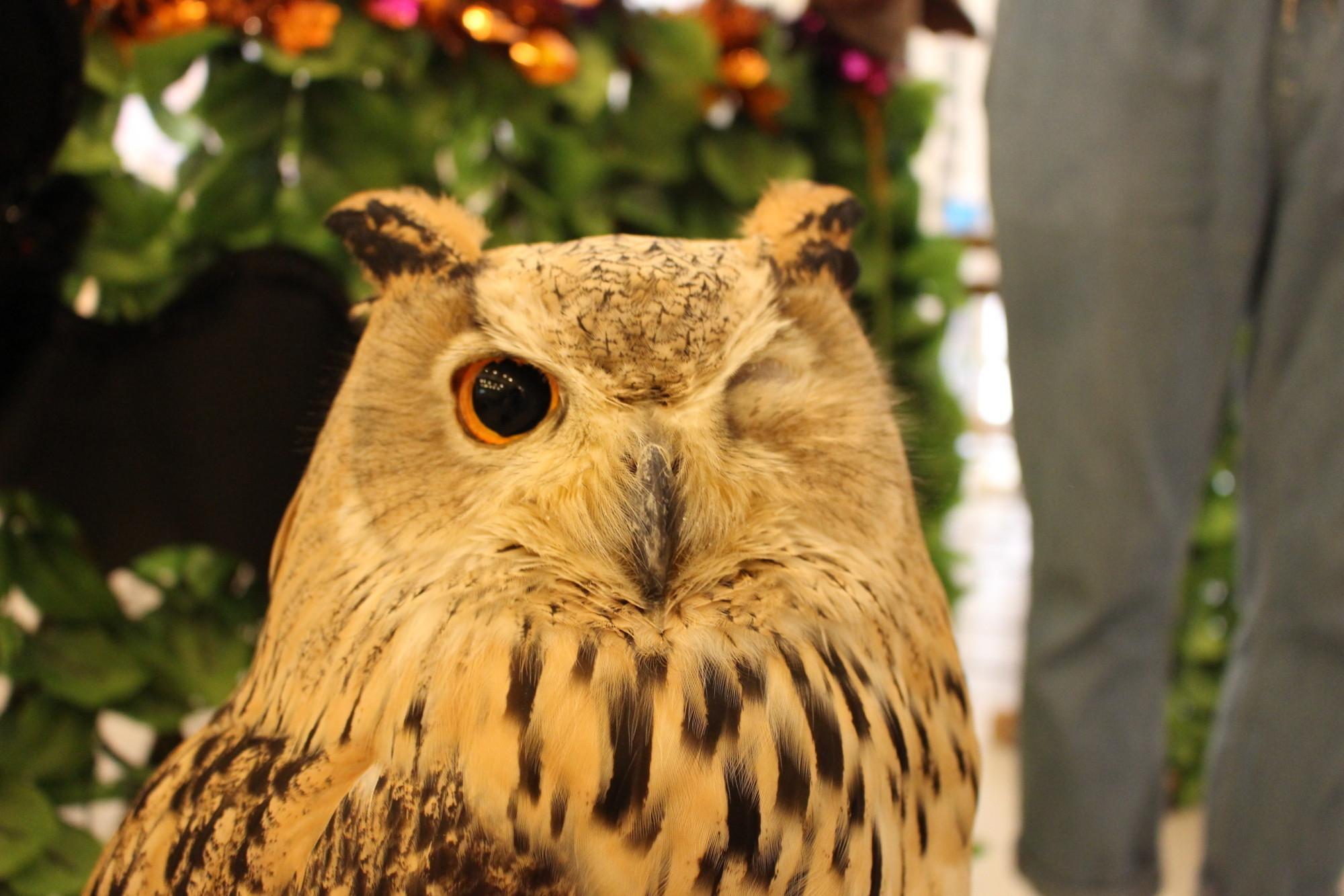 和蓬鬆可愛的貓頭鷹互動,為你帶來歡樂!大阪天滿宮『貓頭鷹的店(フクロウのみせ)大阪本店』