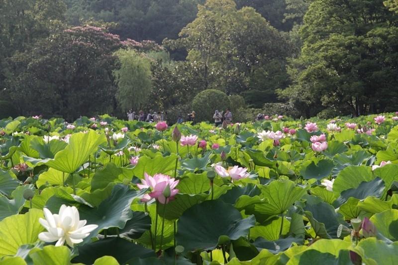 日本庭園 蓮花池