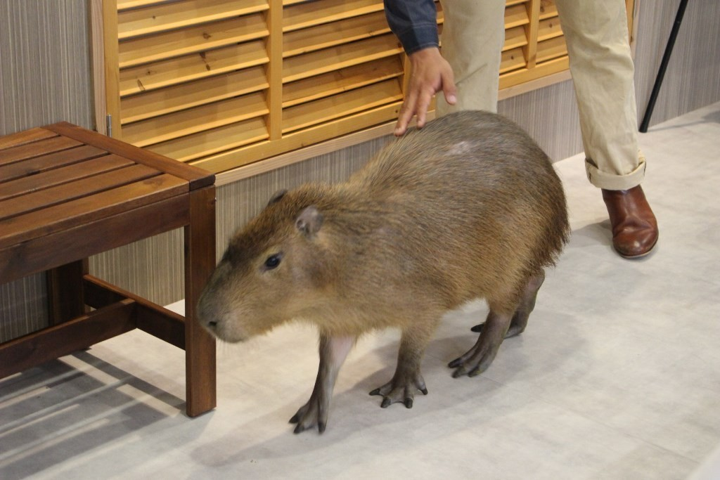 水豚跟熊狸現身!坐落於大阪市中心,有可愛動物的森林咖啡廳『Animeal』誕生!